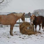 2-paarden-eten-hooi-in-sneeuw(kleiner)